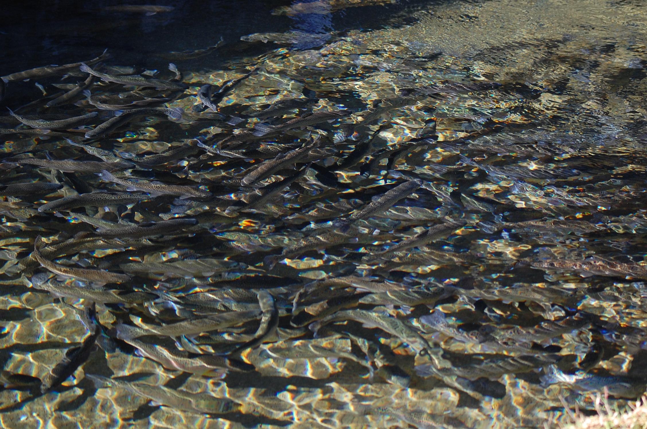 Truites dans l'eau pure et claire de la Pisciculture des Sources.